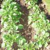 Окучивание картофеля вручную и мотоблоком