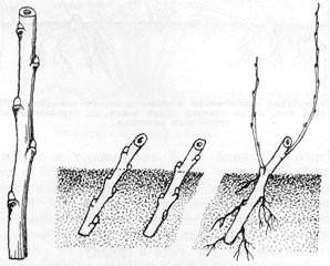 Размножение крыжовника черенками