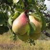 Выращиваем грушу